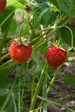 Mogna bär och lövverkjordgubbe Jordgubbar på en strawberr Arkivbilder