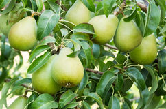 Mogna Bartlett pears på treen Arkivfoto