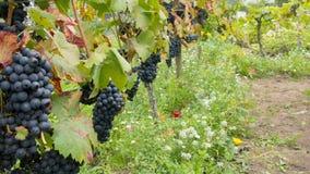 Mogna blåa druvor i vingården royaltyfria bilder