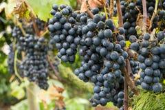 Mogna blåa druvor i vingården royaltyfri fotografi
