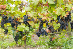 Mogna blåa druvor i vingården royaltyfri bild