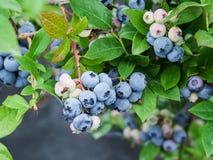 mogna blåbär royaltyfri bild