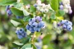Mogna blåbär på busken Arkivbilder