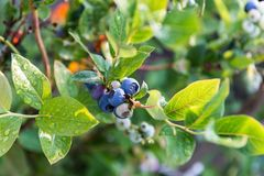 Mogna blåbär på busken Royaltyfria Foton
