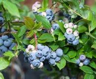 Mogna blåbär på busken royaltyfria bilder