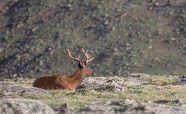 Mogna Buck Deer Walking i äng på en sommardag i Rocky Mountain National Park arkivfoto