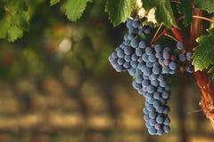 Mogna Cabernet druvor på vinranka fotografering för bildbyråer