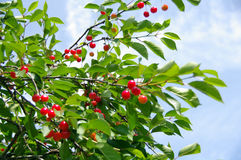 mogna Cherry Royaltyfri Fotografi