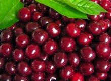 mogna Cherry Royaltyfri Bild