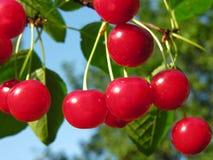mogna Cherry Arkivfoto