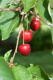 Mogna Cherry. Fotografering för Bildbyråer