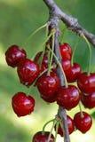 Mogna Cherry Branch Royaltyfri Bild