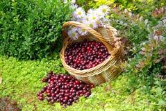 Mogna Cherry i korgen Royaltyfri Foto