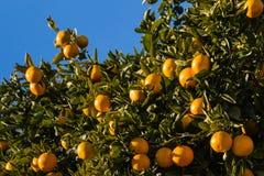 Mogna clementines på träd Royaltyfri Fotografi