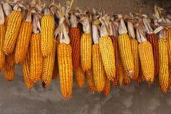 Mogna corn-cobs fotografering för bildbyråer