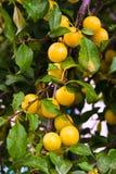 Mogna den gula körsbärsröda plommonet (Prunuscerasiferaen) Royaltyfria Foton