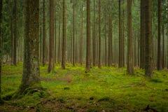 Mogna Douglas Fir Plantation Forest i Centraleuropa royaltyfri bild