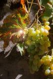 Mogna druvor i solen Arkivfoton