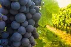 Mogna druvor i vingårdhöst Fotografering för Bildbyråer