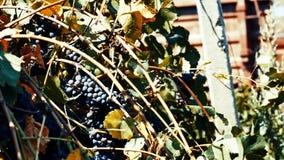 Mogna druvor i vinrankagården, närbildsikt, tappningeffekt arkivfilmer