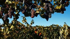 Mogna druvor i vinrankagården, närbildsikt, tappningeffekt stock video