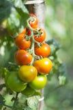 Mogna för tomat Royaltyfria Foton