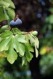 mogna figs Royaltyfri Bild
