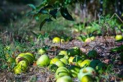 Mogna frukter av gröna äpplen som ner faller från filialerna av yoen royaltyfri foto