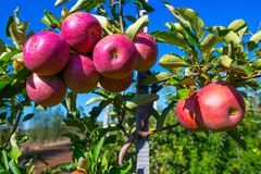 Mogna frukter av röda äpplen på filialerna av unga äppleträd royaltyfria bilder