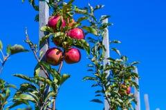 Mogna frukter av röda äpplen på filialerna av unga äppleträd royaltyfri foto