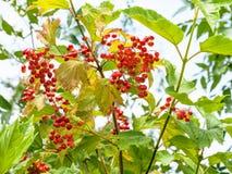 Mogna frukter av Viburnumväxten i sommar Royaltyfria Foton