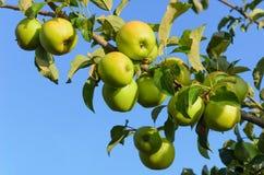Mogna gröna äpplen på en filial Arkivfoton