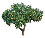 Mogna grapefrukter på träd Arkivbild