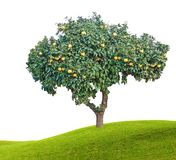 Mogna grapefrukter på träd Royaltyfri Bild