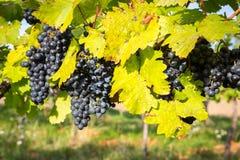 Mogna grupper av vindruvor på en vinranka i varmt ljus Arkivfoto