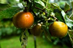 Mogna guld- kalvlöpeäpplen som hänger fortfarande på trädet i September fotografering för bildbyråer