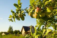 Mogna guling-röda äpplen på en filial fotografering för bildbyråer