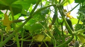 Mogna gurkor och äggstockar för liten frukt med gula blommor hänger på stammarna, ultrarapid stock video