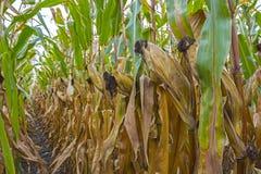 Mogna havremajskolvar i fältet som är fullt av stort korn, mot himlen Raka rader av kultur, rengöringen från sjukdomar, plågor oc arkivbilder