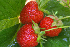 mogna jordgubbar Fotografering för Bildbyråer