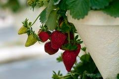 mogna jordgubbar Royaltyfria Foton