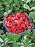 mogna jordgubbar för korg Royaltyfri Bild