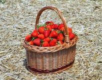 Mogna jordgubbar i skördkorg Arkivbild