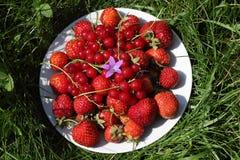 Mogna jordgubbar och röda vinbär med blåtten Arkivbild