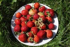 Mogna jordgubbar på den vita maträtten på gräset Royaltyfri Bild
