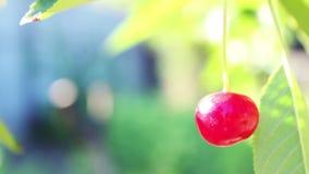 Mogna körsbär i sommarträdgården stock video