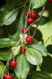 Mogna körsbär på ett träd fotografering för bildbyråer