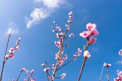 Mogna körsbärsröda blomningar på ett träd mot bakgrunden av en blått, vårhimmel fotografering för bildbyråer