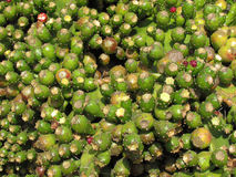 Mogna kaktusfrukter Arkivfoto