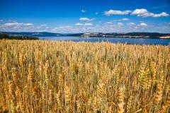 Mogna landskap för sommar för vetefält med Mjosa sjön i backgro royaltyfria bilder